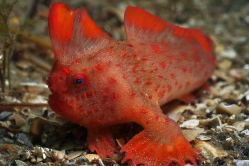 Teadlased otsivad üliharuldastele Tasmaania kaladele vadereid