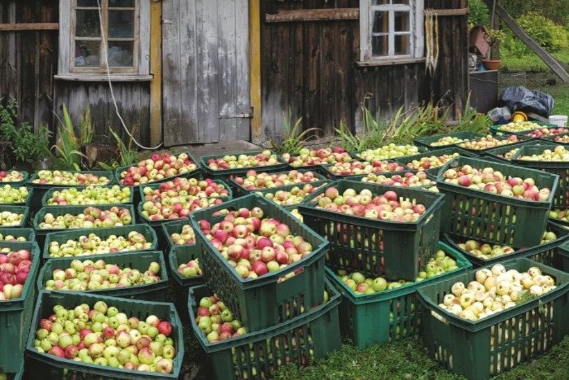 Pajuvärava lood: 2000 liitrit armastusega tehtud õunamahla