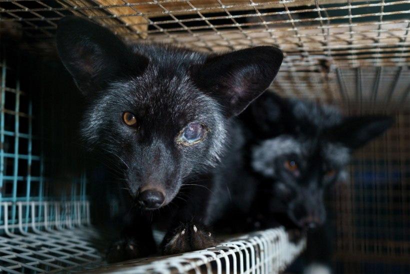 FOTOD | Soomes paljastati taaskord salajased materjalid karusloomafarmide kohutavatest tingimustest
