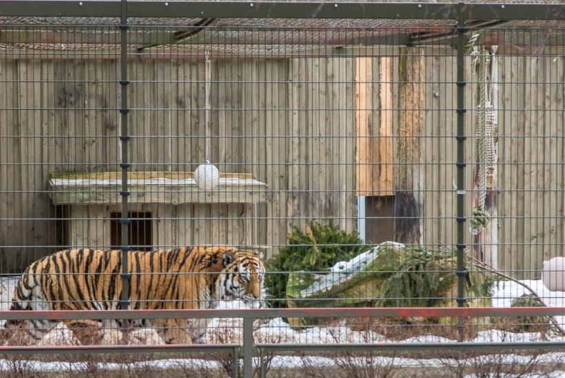Liiga väike huvi: loomaaia tiigrioru toetuseks mõeldud heategevuskontsert jääb ära