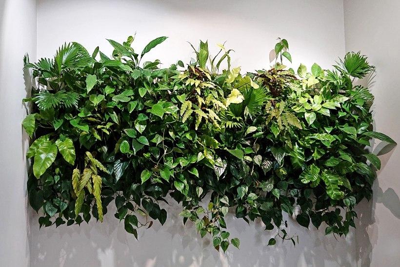 Muuda kodu džungliks! Ideid taimekardinate ja roheseina loomiseks