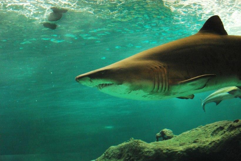Noored kalamehed jäid kuue hai lõksu