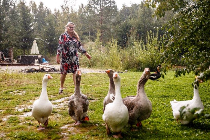 """Läänemaal eralinnuparki pidav Tiiu Tuppur: """"12tunnised tööpäevad on puhas nauding."""""""
