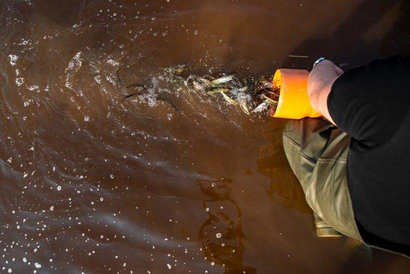 Kalakasvandus saatis jõgedesse sadu tuhandeid noorkalu