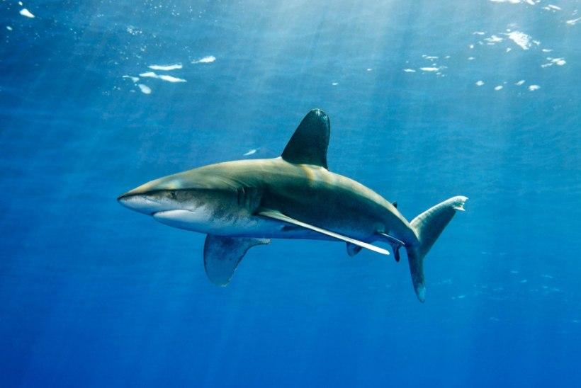 JUBA JÄLLE! Austraalia rannikul vigastas hai raskelt kaht Briti turisti