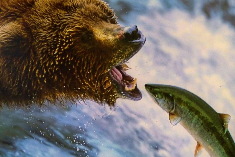 KLIIMA SOOJENEMINE: Kanada karud nälgivad, sest kala on üha vähem