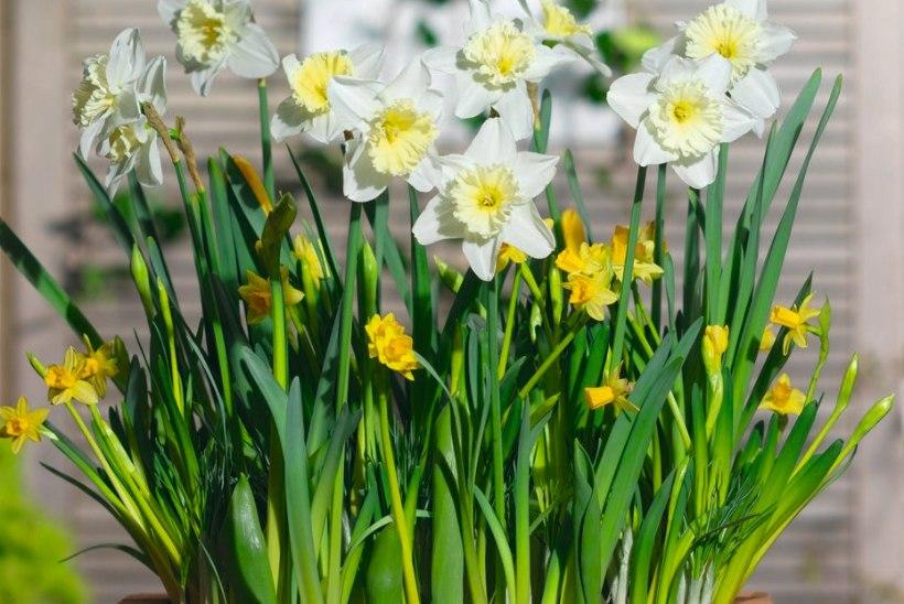 Kööginurk aias: pane kevadeks valmima lillesibulalasanje