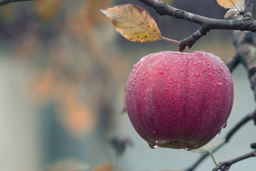 SÖÖ VÄHEMALT ÜKS UBIN PÄEVAS! Õun vähendab nende haiguste riski