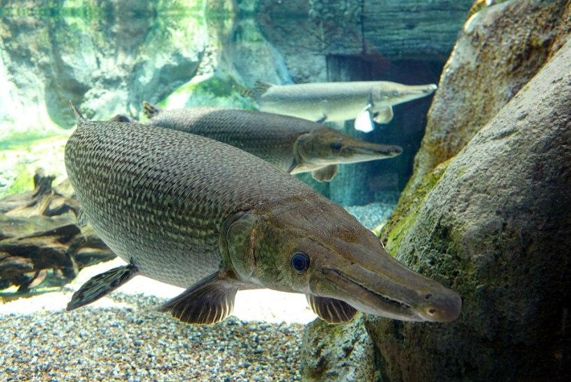 Süstaga õngemees tabas 91kilose kala