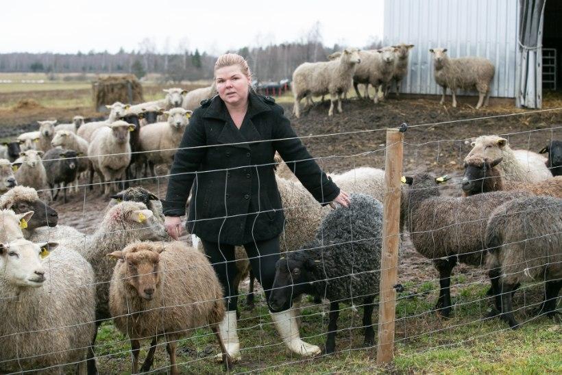 LINDUDE JA LOOMADE SÕDA: 56 lammast tapnud rongad ei anna jahimeeste saabudes näole