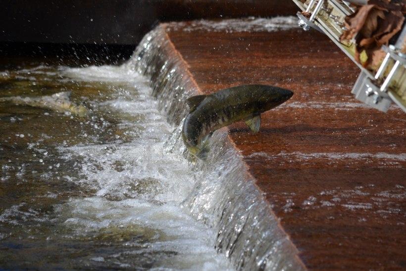 Kalade kudemise aeg meelitab röövpüüdjad vee äärde