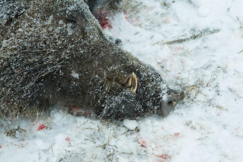 Saaremaal leiti seakatkuga nakatunud metssiga