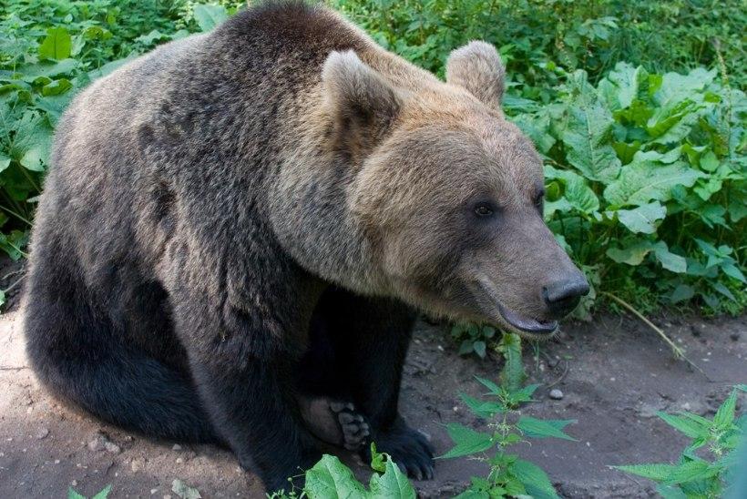 Elistvere loomapark on talvel väisamist väärt – külla ootab ka karu Karoliina!