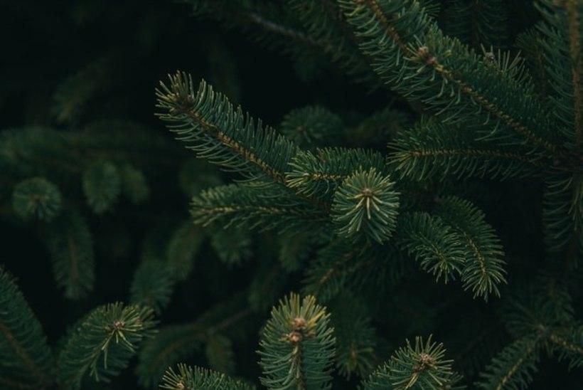 JÕULUPUU VALIK: kas võtta kunstkuusk või päris puu?