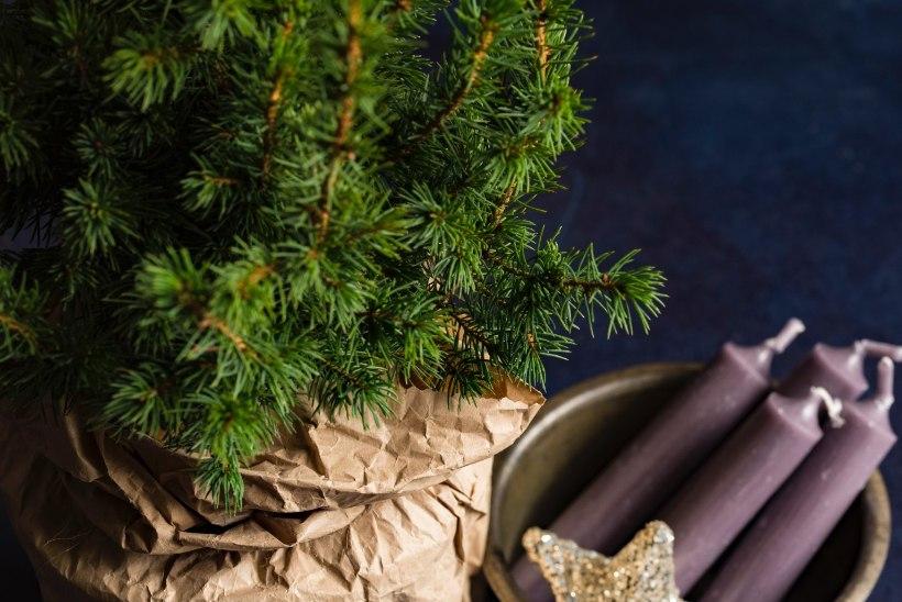 Potijõulupuu soetaja spikker