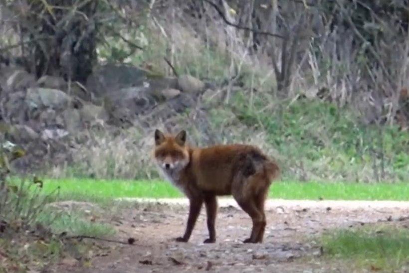 VIDEO | Viljandimaal uitas koduhoovis sabata rebane