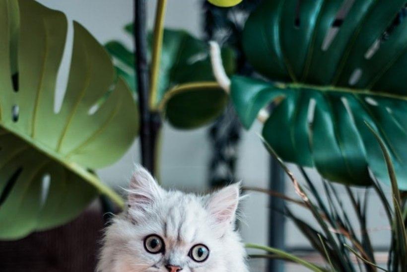 Loomaomanik, ole tähelepanelik: neid taimi ära too koju, kus on lemmikloom
