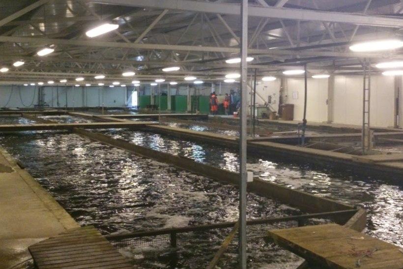 Vallavõim keeldub elektrivõlglase kaladest, forelle ähvardab hukkumine