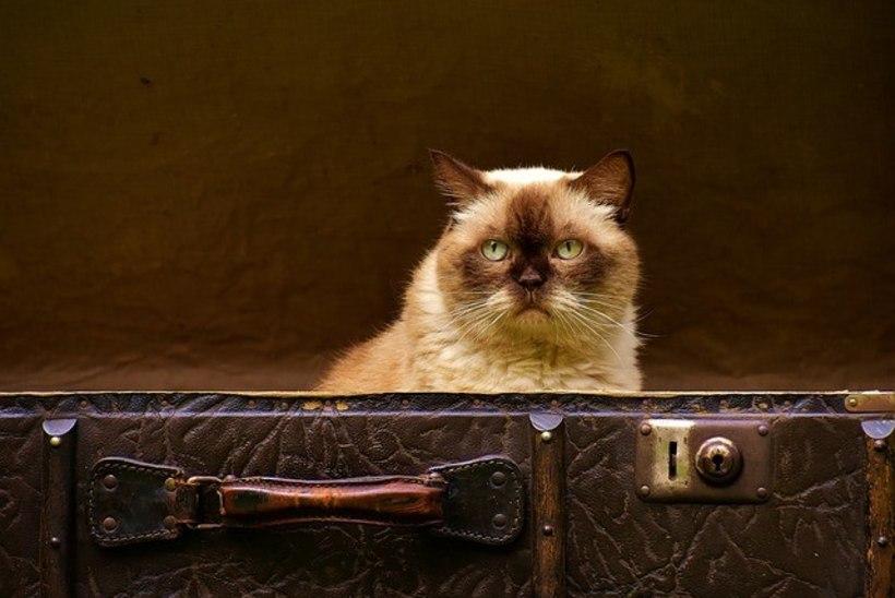Kass hiilis peremeeste pagasisse ning avastati alles lennujaamas