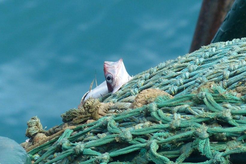 Teadlased: kilpkonni ja delfiine säästaks kalavõrkudest 21. sajandi lahendus