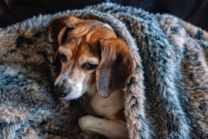 Mis asi on isesoojenev lamamisase ja miks koer seda vajab?