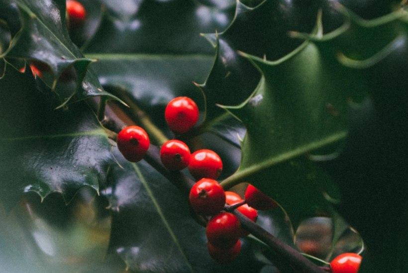 AED | Igihaljas iileks – armastatud taim, mis loob jõulumeeleolu