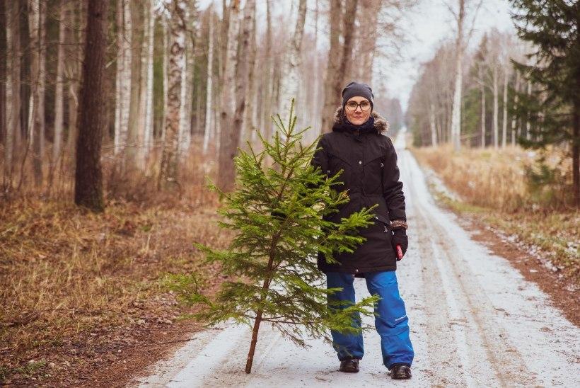 VIDEO | Jõulupuu koju ehk Kuidas RMK mobiilirakenduse abil metsast kuuske tuua?