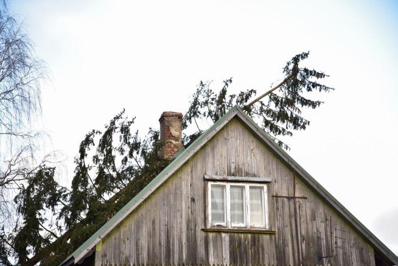 VIDEO JA FOTOD | Viljandis murdis torm puu, mis kukkus maja peale
