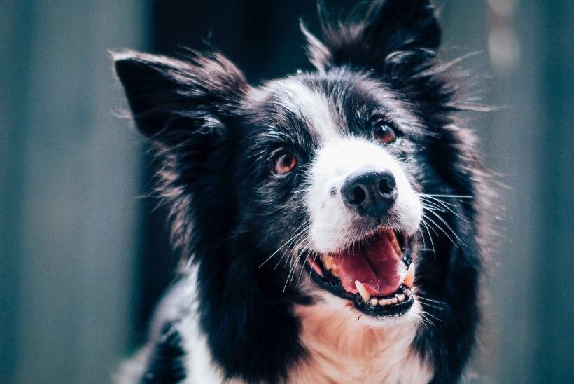 Põhjalik selgitus: miks koer haugub ja kuidas selle kombega võidelda?