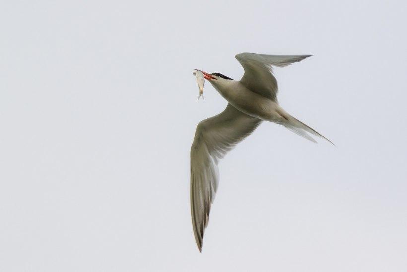 Võrkudest tagasi merre visatud kala toidab miljoneid linde