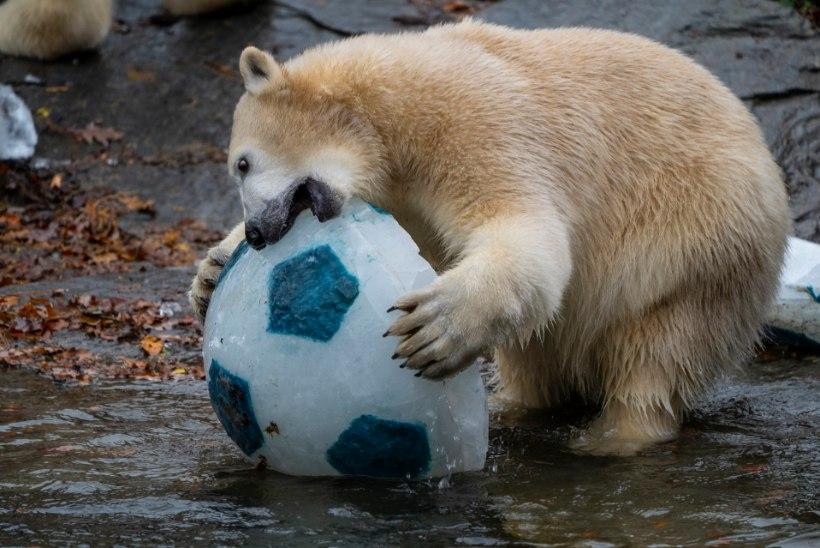 VIDEO | Berliini jääkarutüdruk Hertha tähistas esimest sünnipäeva