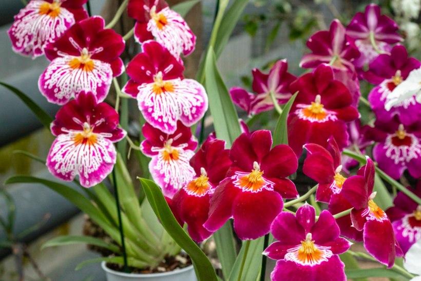 Salapärane orhidee