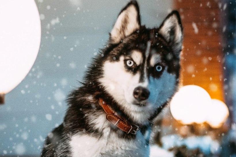 Loomaarst soovitab: ole aastalõpu tulemöllus oma lemmiklooma jaoks olemas!