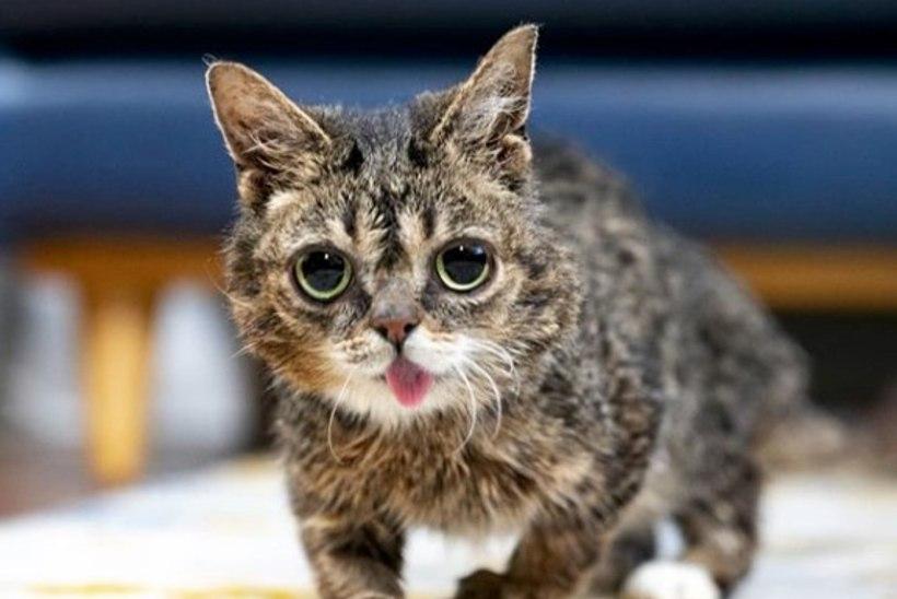 Interneti kass-staar Lil Bub heitis ootamatult hinge