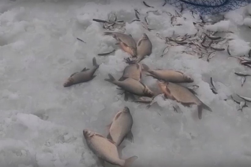 Kalad surevad jää all hapnikupuudusse, inimene neid aidata ei saa