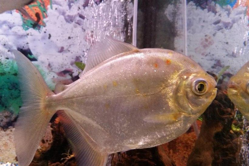Kas kala tunneb end peeglist ära?