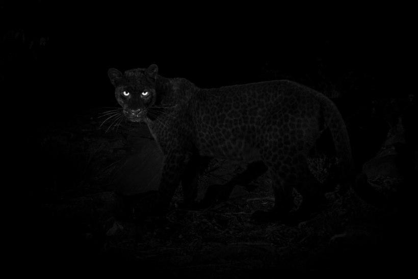 Keenias jäi kaamera ette haruldane loom – must panter