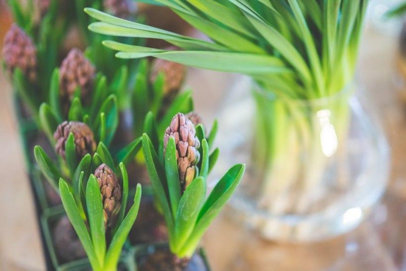 Too kevad tuppa! Kaunis hüatsintidest lauakaunistus