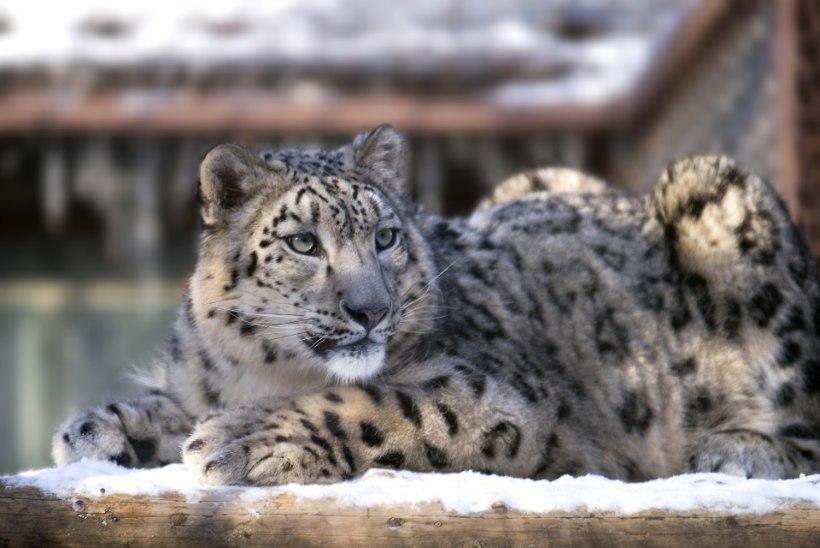 PÄÄSU POLNUD: Tallinna loomaaia lumeleopard Otto tuli uinutada