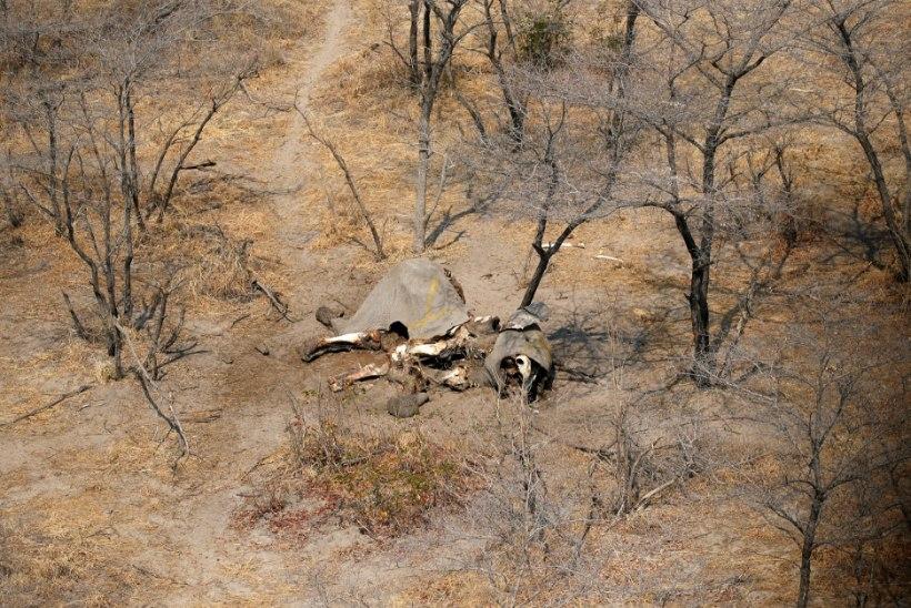 SALAKÜTTIDE JULMAD TEOD: teadlane leidis Botswanas enam kui 100 tapetud elevanti, valitsust see ei kõiguta