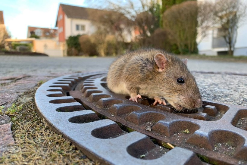 LIIGNE TALVERASV: hiiglaslik rott vajas kanalisatsioonist pääsemiseks tuletõrjujate abi