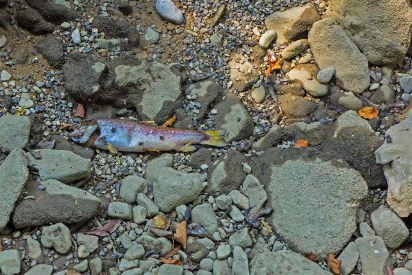 Kuum suvi tõi Austraalias kalade massisurma