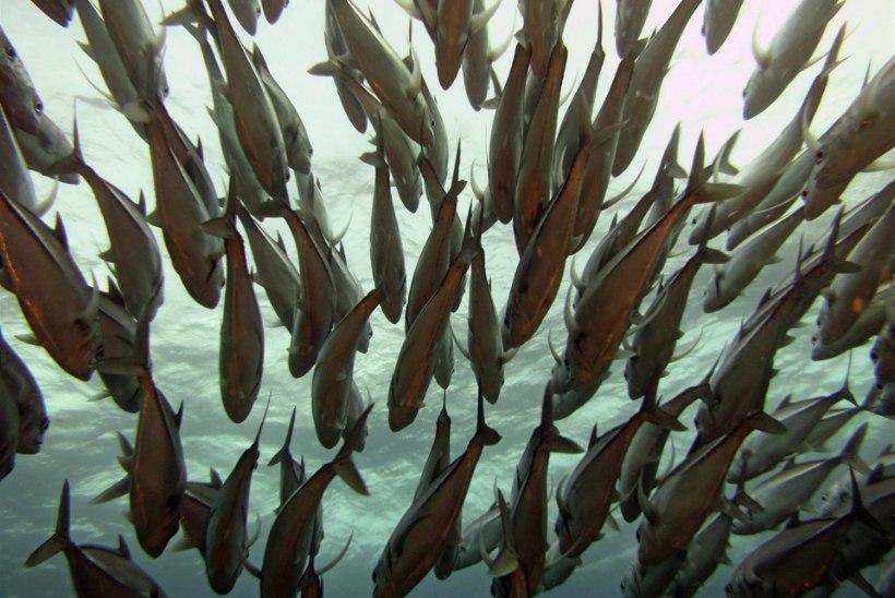 Kuidas suudavad kalad ja linnud ühtlased parves liikuda?