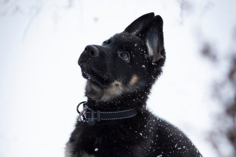 NUNNUD FOTOD | Eesti politseiga liitus järjekordne karvane töötaja