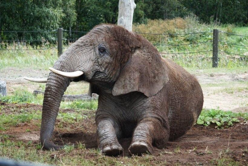 Спа-процедуры для слонов и носорогов в Таллиннском зоопарке