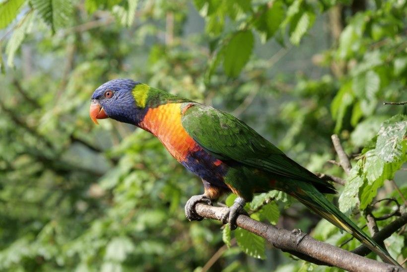 Oopiumisõltlastest papagoid hävitavad Indias moonipõlde