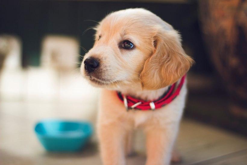 Mida teha, kui koer üksi kodus olles ulub ja haugub? Ekspert annab nõu