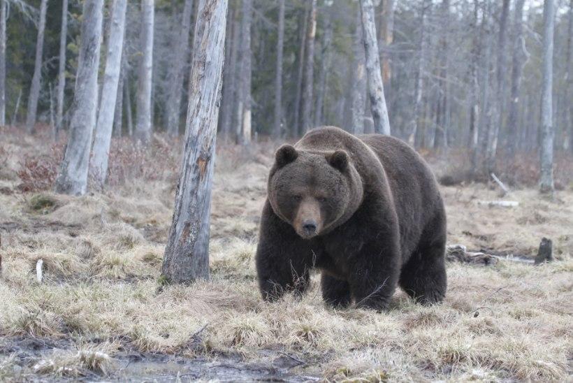 KEVAD KÄES? Saaremaal luusib ringi talveunest ärganud karu