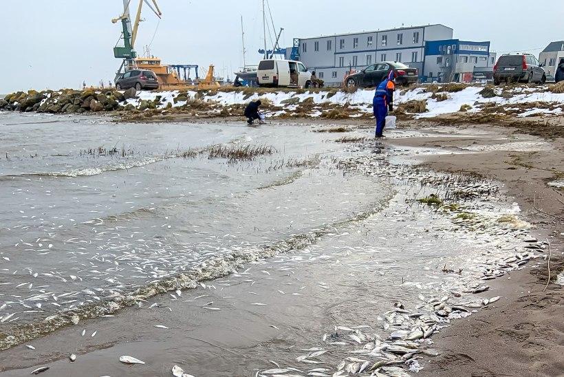 GALERII | Saaremaal uhtusid rannale tuhanded surnud kalad