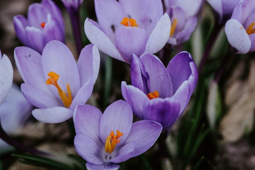 Märtsis algab aiahooaeg: kasvata ette, hoolda põõsaid ja ärata toalilled
